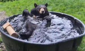 Η αρκούδα που κάνει το γύρο του κόσμου! (vid)