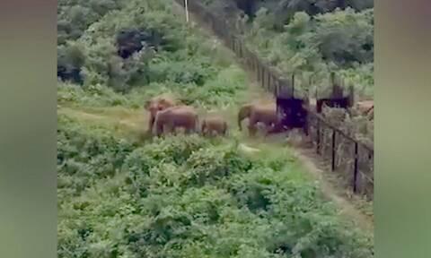 Τίποτα δεν τους σταματά... Ελέφαντες ρίχνουν συνοριακό φράχτη και αλλάζουν χώρα (video)