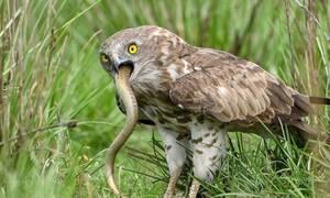 Απίστευτες εικόνες: Αετός καταβροχθίζει βασιλική κόμπρα! (pics)