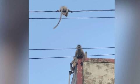Μαϊμουδάκι είχε «εγκλωβιστεί» σε ηλεκτροφόρα καλώδια - Δείτε πώς το έσωσαν (vid)