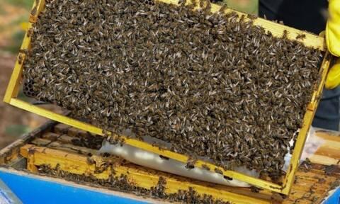 Παγκόσμια Ημέρα Μέλισσας: Το 1/3 των τροφίμων που παράγονται διεθνώς συνδέεται με τις μέλισσες