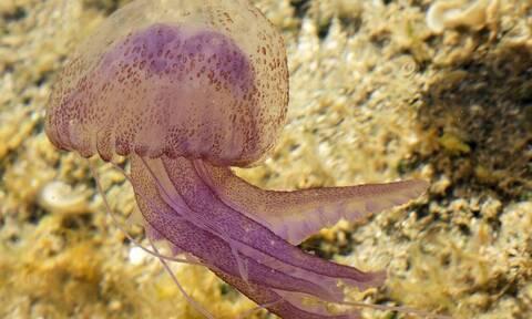 На Крите появились опасные для человека медузы