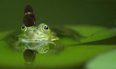 Δείτε τον πιο μικρό βάτραχο στον κόσμο - Το είδος του απειλείται με εξαφάνιση (photos)