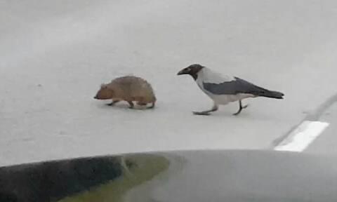 Απίστευτο! Κουρούνα... διακόπτει την κυκλοφορία και βοηθάει σκαντζόχοιρο να περάσει το δρόμο (vid)