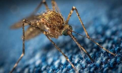 Κουνούπια... γίγας «εισβάλλουν» στην Ευρώπη από την Ασία
