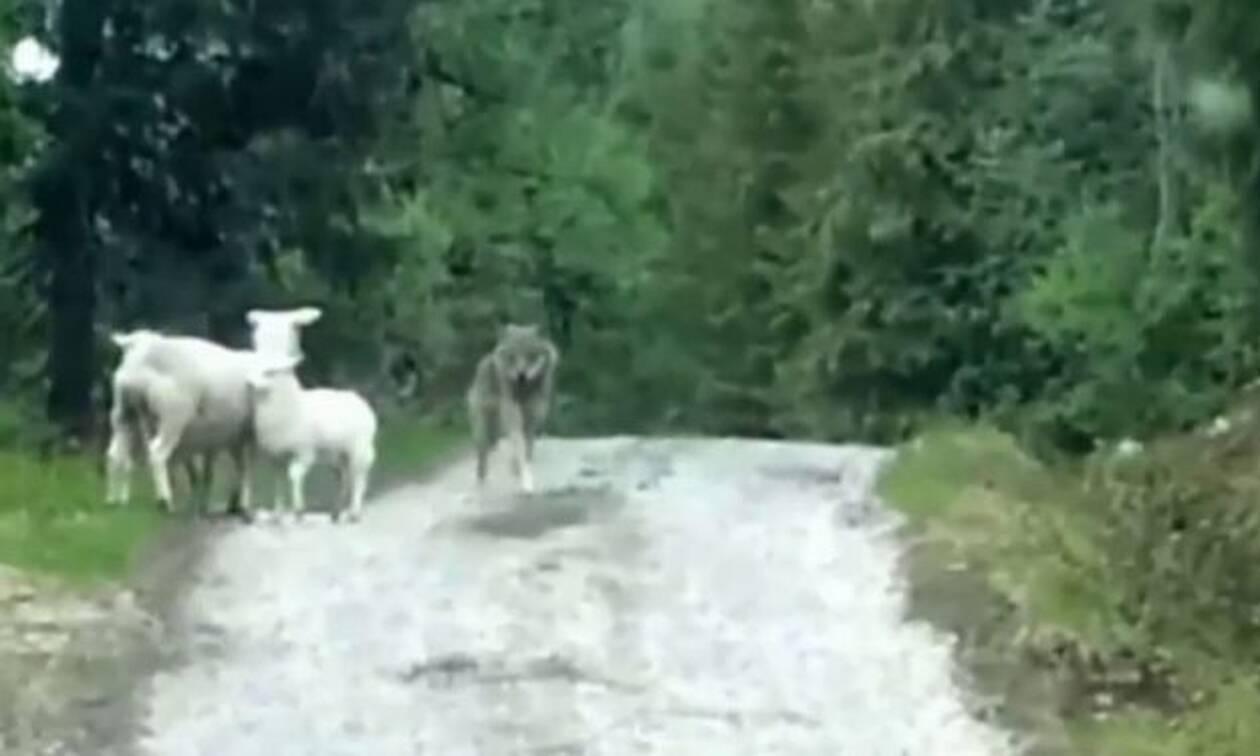 Λύκος σέρνει ζωντανό πρόβατο στη φωλιά του! (vid)