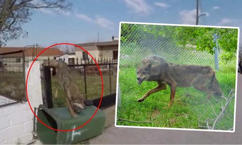 Δεν θα επιστρέψει στο δάσος η λύκαινα που βρέθηκε καρφωμένη σε φράχτη