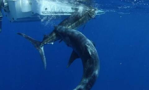 Καρχαρίας τσακίζει ξιφία με μία και μόνο κίνηση! (video)