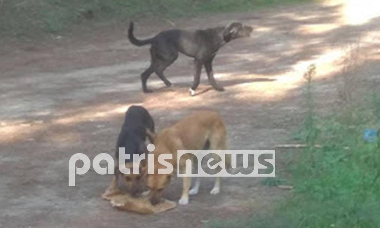 Ηλεία: Αγέλη σκύλων επιτέθηκε σε 14χρονο - Πώς σώθηκε το παιδί