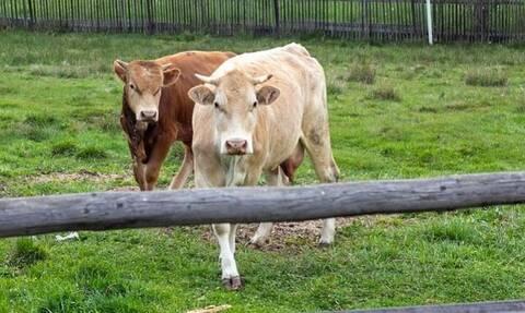 Τραγωδία: Νεκρός 82χρονος έπειτα από επίθεση από αγελάδες