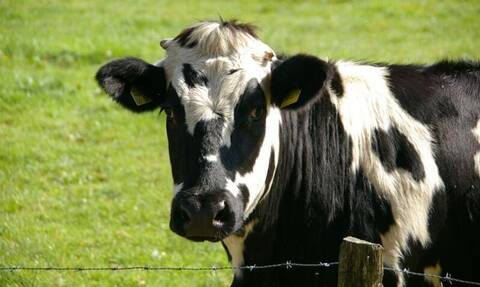 Τραγικός θάνατος 82χρονου - Τον ποδοπάτησαν αγελάδες