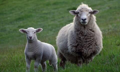 Μολύνθηκε από πρόβατο - Δείτε πώς έγιναν τα χέρια του