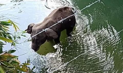 Φρίκη: Έδωσαν σε έγκυο ελεφαντίνα να φάει ανανά με εκρηκτικά - Βρήκε τραγικό θάνατο