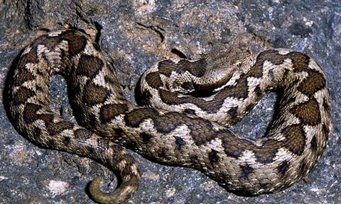 Προσοχή! Αυτά πρέπει να γνωρίζετε για τις οχιές και τα υπόλοιπα φίδια (photos+videos)
