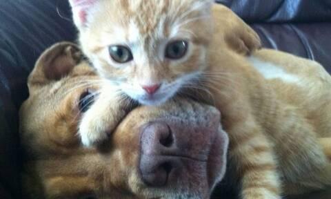Αγαπησιάρης σκύλος πνίγει στα χάδια μικροσκοπικό γατάκι! (vid)