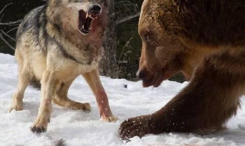Αρκούδα συναντάει λύκους στο δάσος - Δείτε τι ακολουθεί!