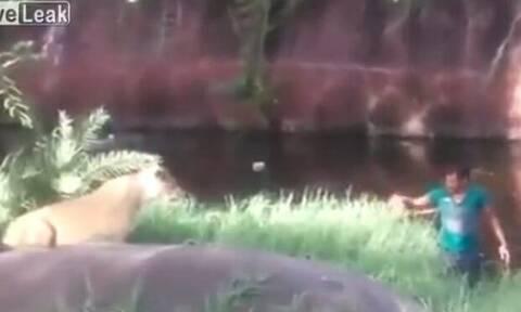 Μεθυσμένος πέφτει στο κλουβί με τα λιοντάρια και γίνεται… χαμός! (vid)
