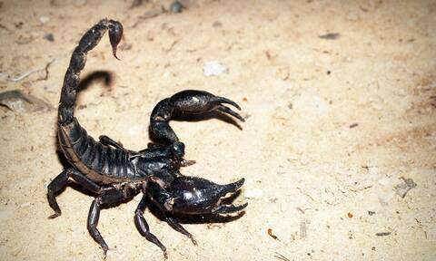Ναύπλιο: Ο... ατρόμητος αγρότης που δεν φοβάται τους σκορπιούς (pics+vid)