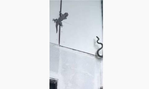 Τρομερή μάχη - Φίδι παλεύει με σαύρα γκέκο (vid)