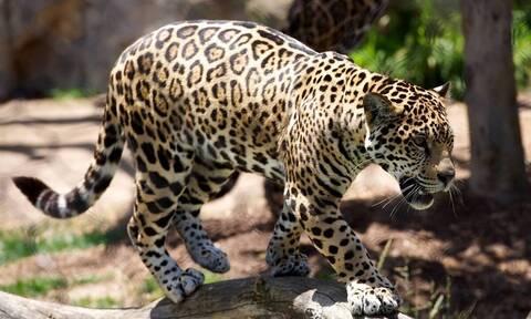 Βάτραχος παλεύει με λεοπάρδαλη - Ανατροπή με τον… νικητή (vid)