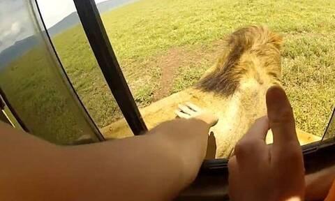 Τουρίστας θέλησε να χαϊδέψει λιοντάρι - Τρομερό αυτό που ακολούθησε (pics+vid)