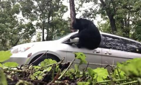 Αρκούδα «μπουκάρει» σε πολυτελές τζιπ!