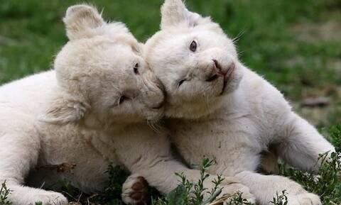 Зоопарк Пафоса объявил победителей конкурса на лучшие имена для белых львят