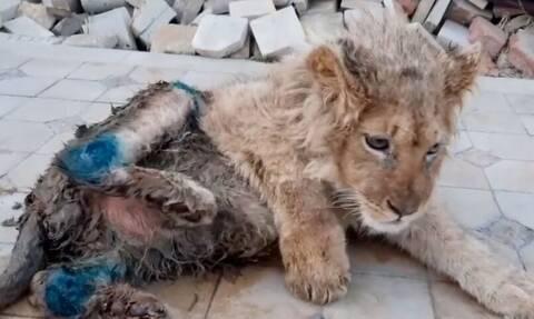 Έσπασαν τα πόδια σε λιονταράκι για να βγάζει φωτογραφίες με τουρίστες