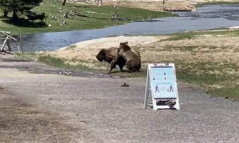 Σκληρή μάχη! Βίσωνας επιτίθεται σε αρκούδα - Η συνέχεια σοκάρει (vid)