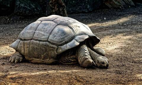 Η χελώνα που έσωσε το είδος της, αποσύρεται από την ερωτική πράξη (photos+video)
