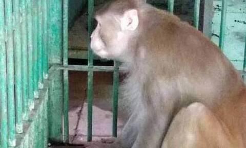 Αλκοολική μαϊμού άφησε 1 νεκρό και 250 τραυματίες: Δεν έβρισκε να πιει