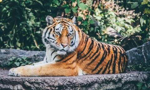 Τραγωδία: Τίγρης κατασπάραξε 60χρονο