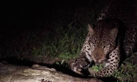 Λεοπάρδαλη βλέπει κροκόδειλο με... θήραμα στο στόμα! Δεν φαντάζεστε τι ακολούθησε