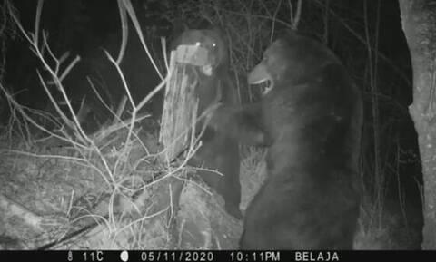 Μάχη μέχρι θανάτου: Καφέ αρκούδες μαλώνουν για την περιοχή τους (video)
