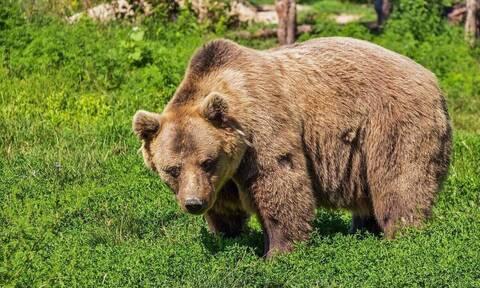 Καστοριά: Σοβαρά τραυματίας 26χρονος που πάλεψε με αρκούδα