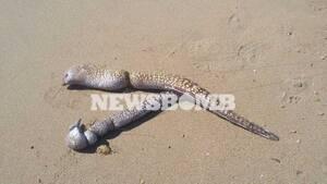Χανιά: Τεράστιες σμέρνες ξεβράστηκαν σε παραλία - Δείτε τις εικόνες