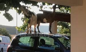 Λαμία: Kατσίκες έκαναν αμάξι... σμπαράλια για να φάνε από δέντρο!