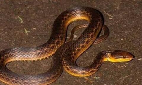 Νόμιζαν ότι αυτό το φίδι είχε εξαφανιστεί για πάντα - 129 χρόνια μετά... αποκαλύφθηκε η αλήθεια