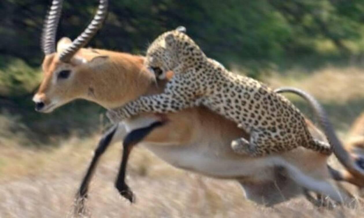 Απίθανο βίντεο: Αυτή η αντιλόπη δεν... μάσησε από την λεοπάρδαλη!