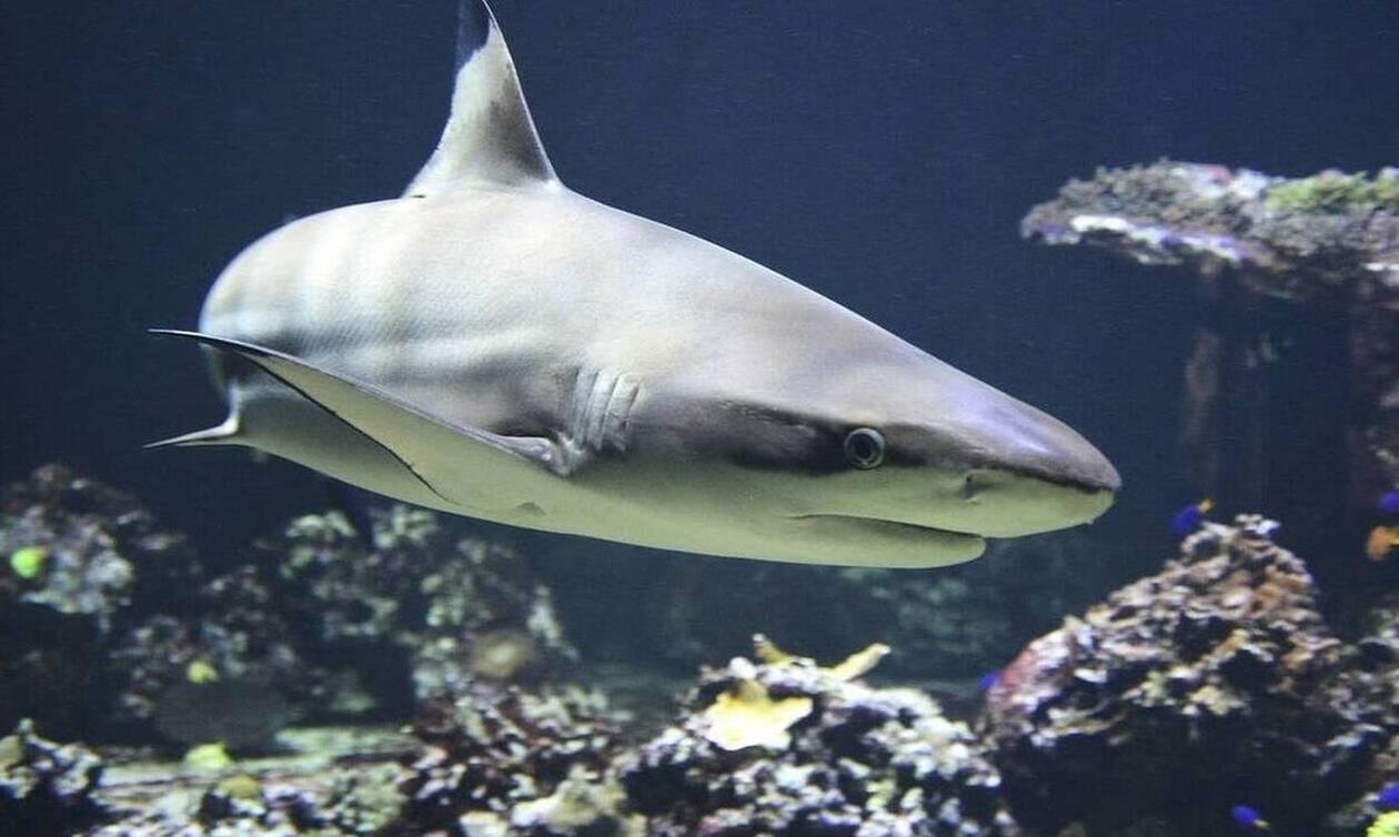 Καρχαρίας κατασπάραξε δύτη - Σκληρές εικόνες