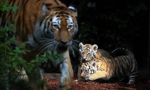 Νέκρη φύλακας ζωολογικού κήπου - Την κατασπάραξε τίγρης