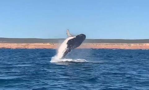 Φάλαινες προσφέρουν μοναδικό θέαμα δίπλα σε πλοίο (vid)