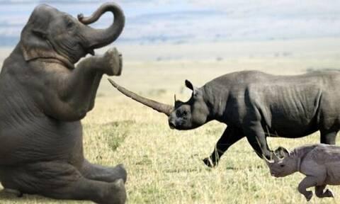 Τσαμπουκαλής ελέφαντας τις «βρέχει» άσχημα σε ρινόκερους (video)