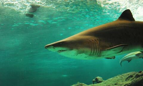 Τρόμος σε παραλία: Καρχαρίας κυνήγησε λουόμενους!