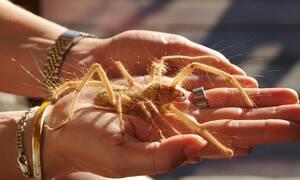 Επικίνδυνο είδος αράχνης εμφανίστηκε στην Ελλάδα (pics)