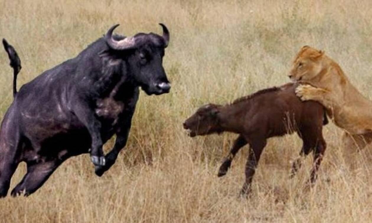 Boυβάλι «τσακίζει» λιοντάρια που κατασπαράζουν το μοσχαράκι της!