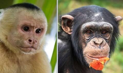 Ποια είναι η διαφορά μεταξύ χιμπατζή και πιθήκου;