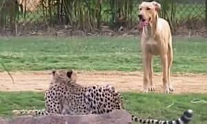 Σκύλος συναντάει τσιτάχ και η εξέλιξη είναι μοναδική! (video)
