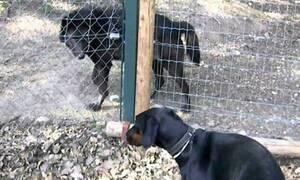 Ντόμπερμαν συναντάει λύκο και στέκεται… σούζα! (vid)