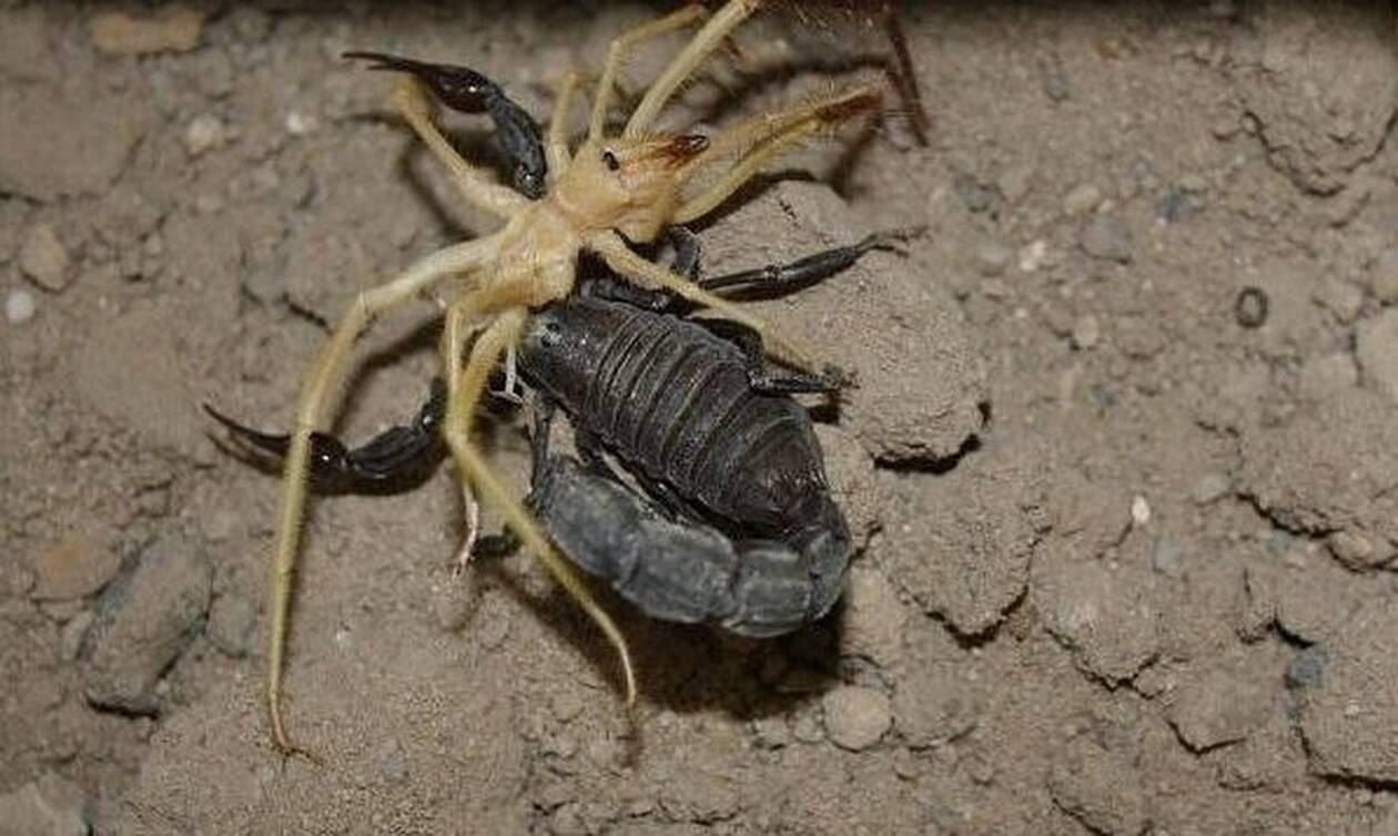 Μάχη μέχρι θανάτου: Δηλητηριώδης αράχνη εναντίον σκορπιού! (video)